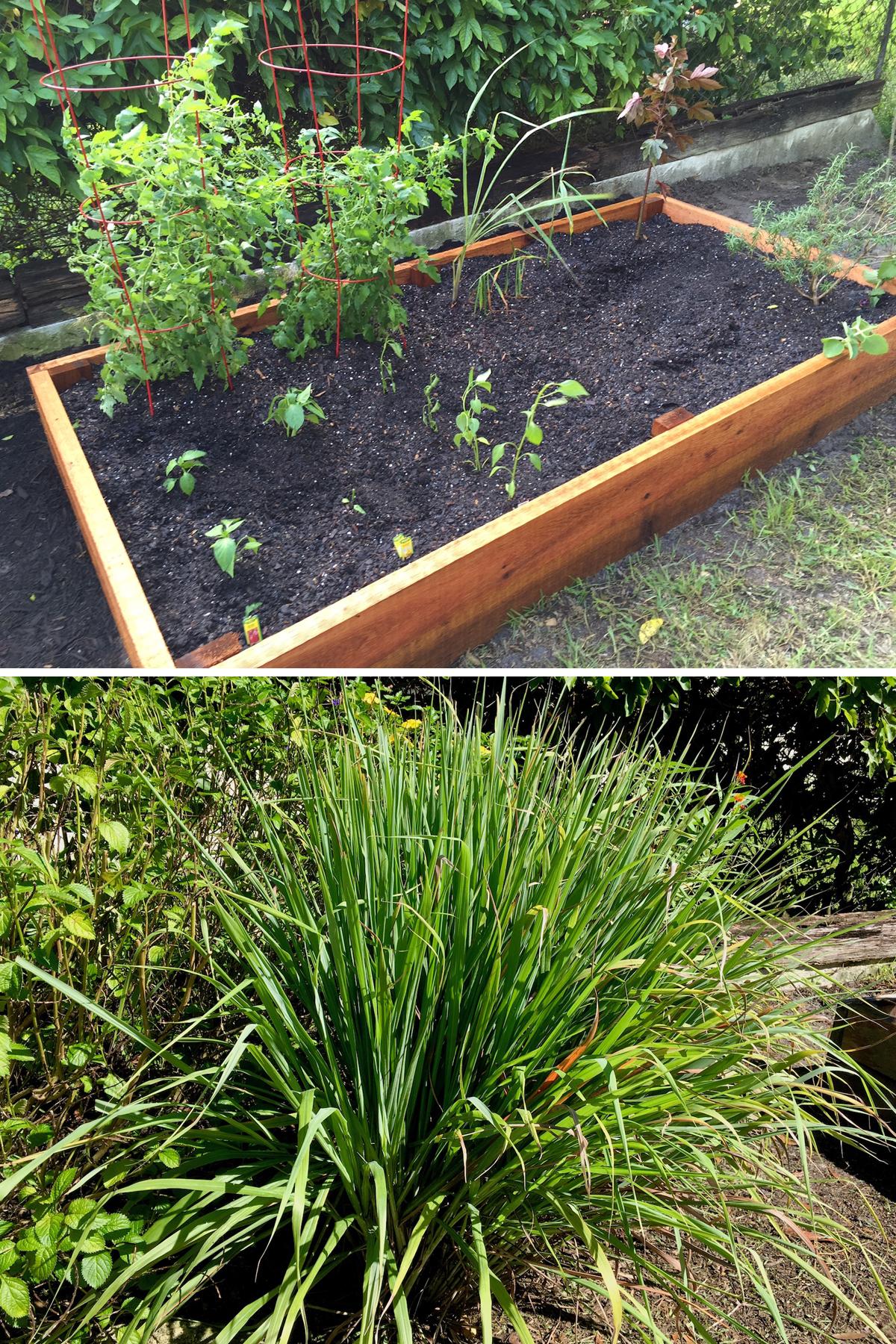 Fresh Lemongrass in Home Garden